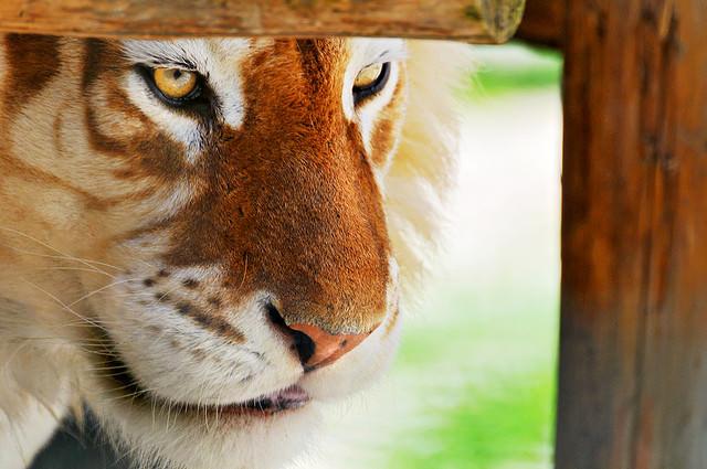 Framed golden tiger By Tambako the Jaguar