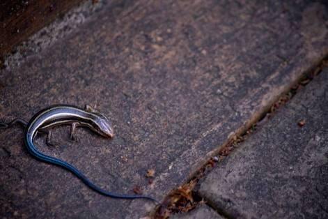 尻尾の青いトカゲ