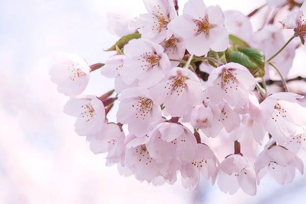 光が差し込むピンクの桜20120505500