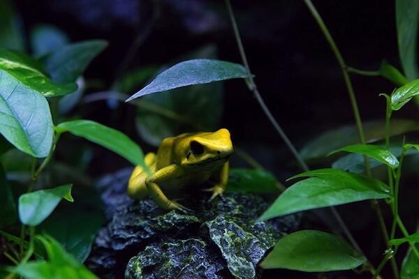 黄色い毒カエル