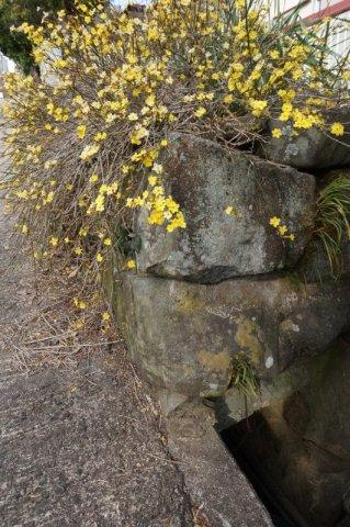 黒い斑れい岩もレンギョウが咲くと趣きが違ってくる