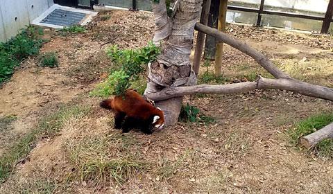 レッサーパンダのショウショウ