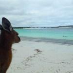 オーストラリア カンガルー