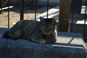 The temple cats in Onomichi was considerably less hostile than most cats I've met so far.