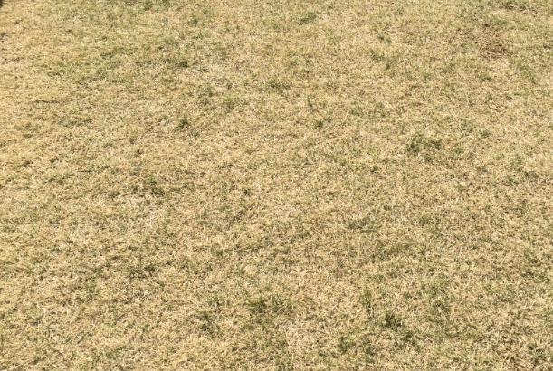 【地獄草】芝生を植えて約1年が経ち、今年もスギナがやってきた