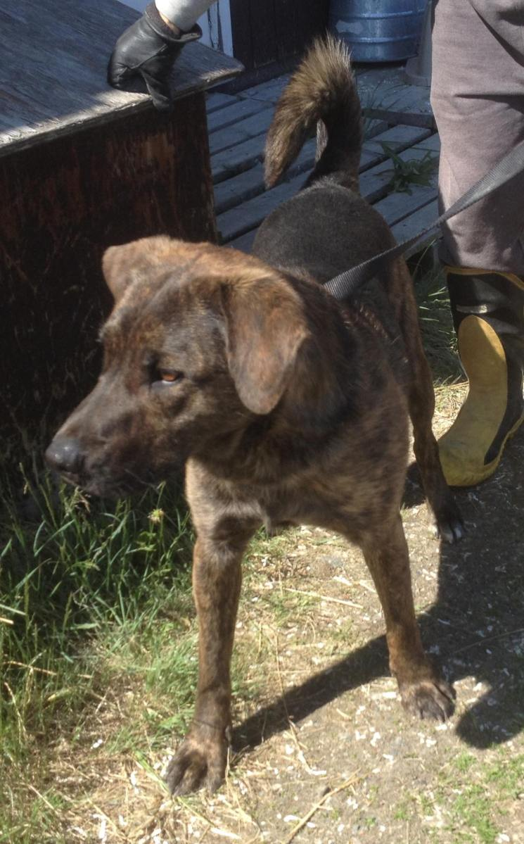 Brindle is a male, neutered lab x, who needs a foster with a yard and doghouse in Whitehorse.