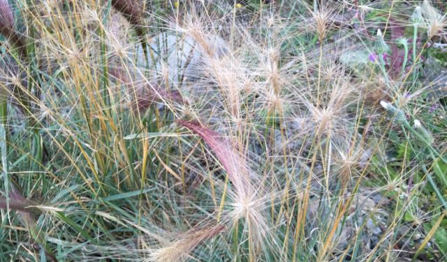 Foxtail barley can be deadly for dogs if bristles from the plant get in their mouth, ears, eyes or paws.