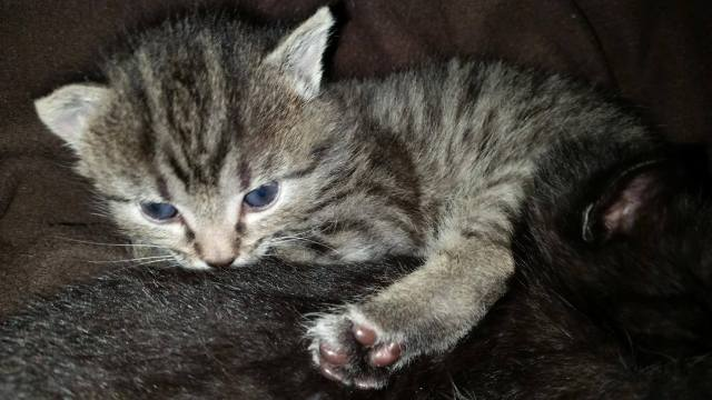 Tinkerbell is a two-week-old female kitten seeking home for Dec. 1.