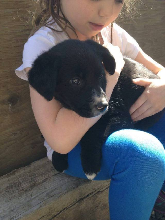 Elsa is a female lab x from YARN's Frozen litter.