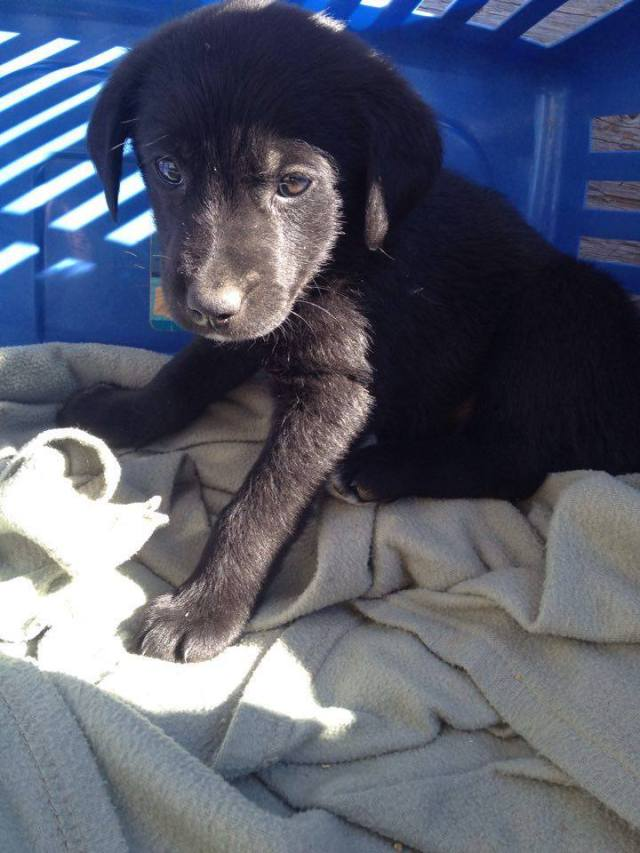 Olaf is male lab x from YARN's Frozen litter.