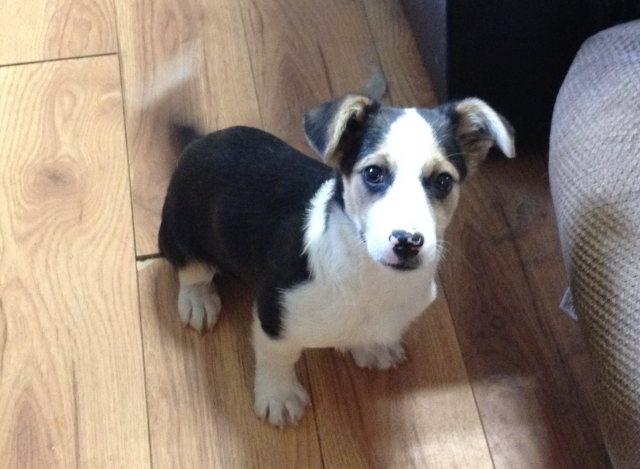Bagel is a male Jack Russell cross pup.