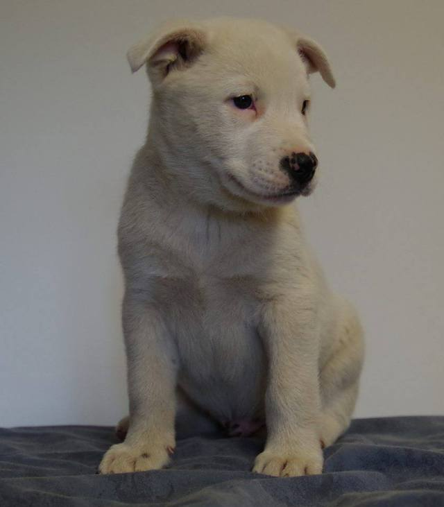 Iceberg is a male Blue Heeler x Siberian Husky/Shepherd/Akita Cross.