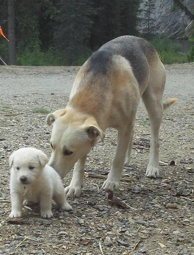 Bear, the father, is Lab/Shepherd Cross.