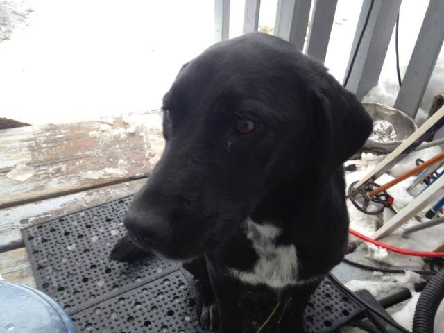 Bella, mom of the Gum Litter,  is a black lab cross – but only medium/large height.