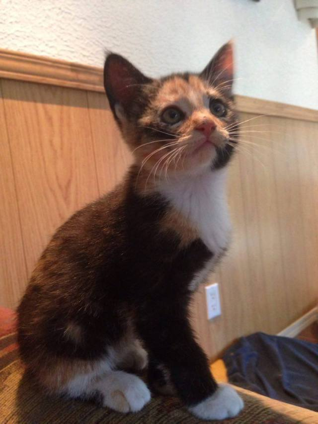 Cybele is a female kitten from the Greek God litter.