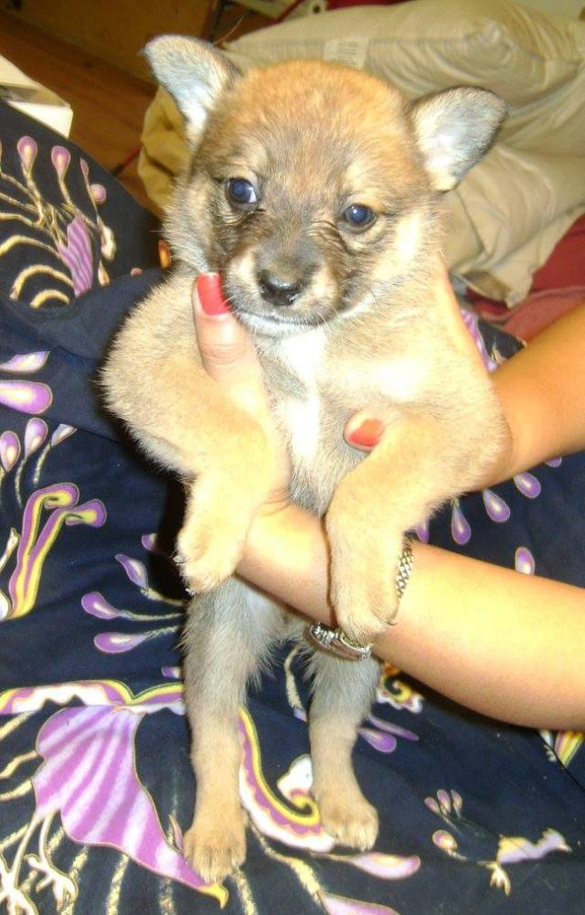 Jethro is a male, Chihuahua cross.