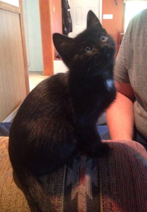 Zuis is a male kitten from the Greek God Litter.
