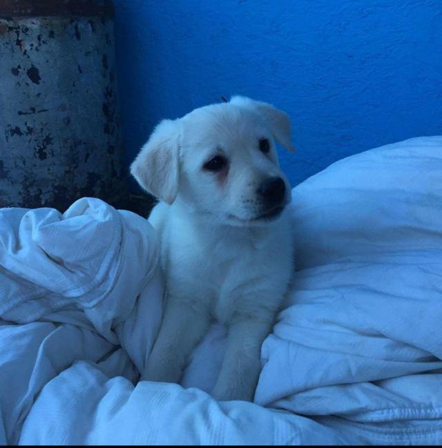 Teardrop is a female from YARN's Pelly pups.