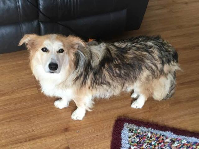 Betsy is (looks like) a Shepherd crossed with a fluffy Corgie.