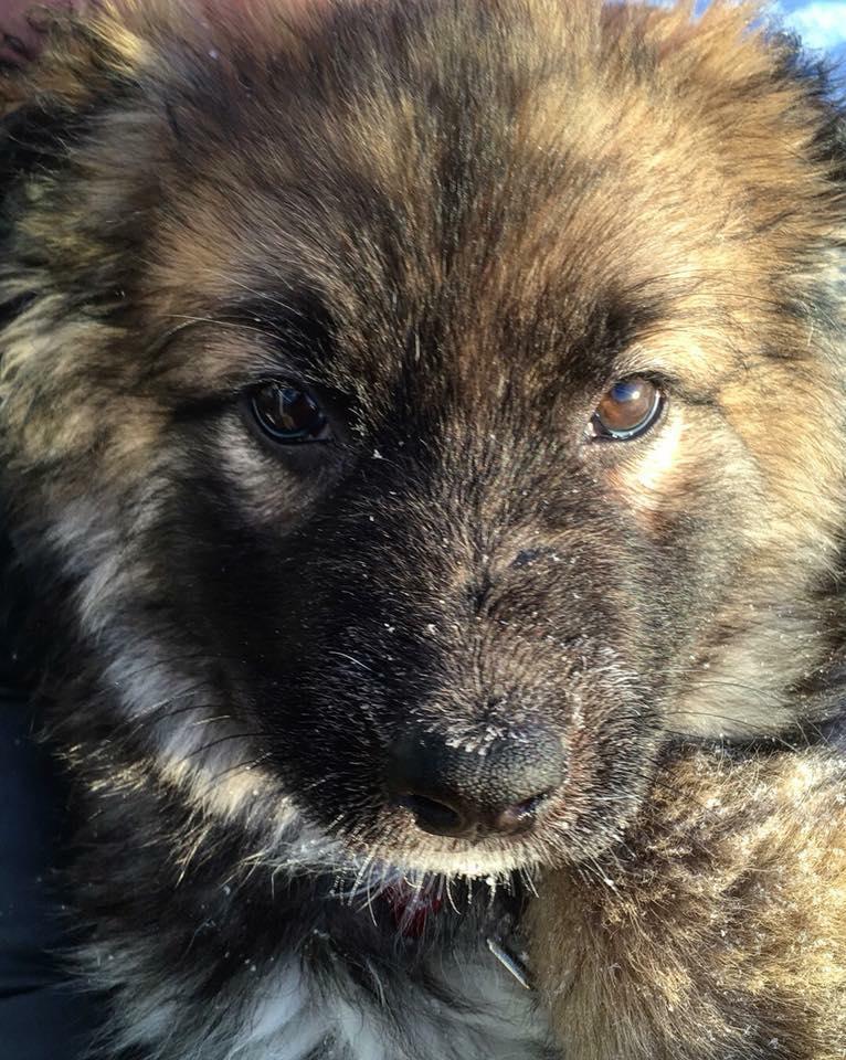 Jo Jo is a female large breed puppy.