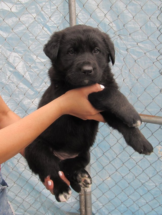 Carolyn is a female black lab/shepherd cross.