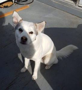 Marley is a male 8-yr-old husky cross.