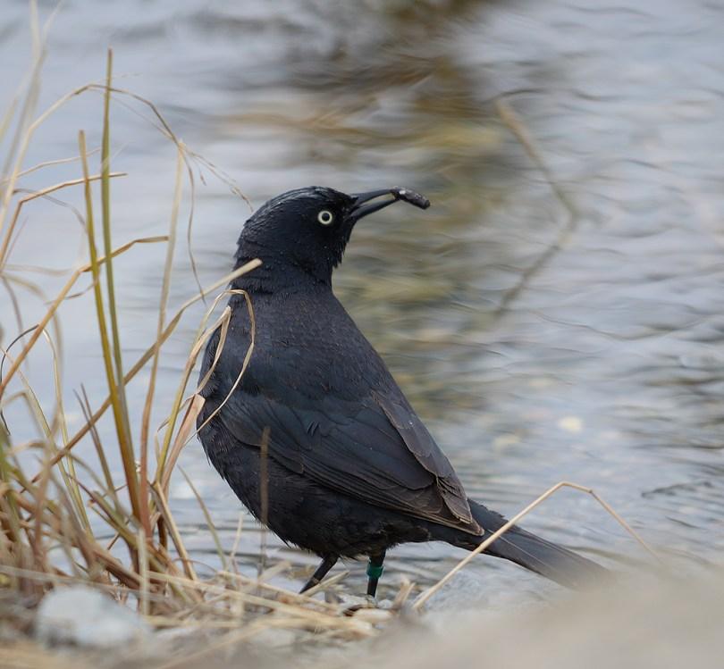 A male Rusty Blackbird hunts Caddis Larva in McIntyre Creek, Whitehorse. Photo by Keith Williams