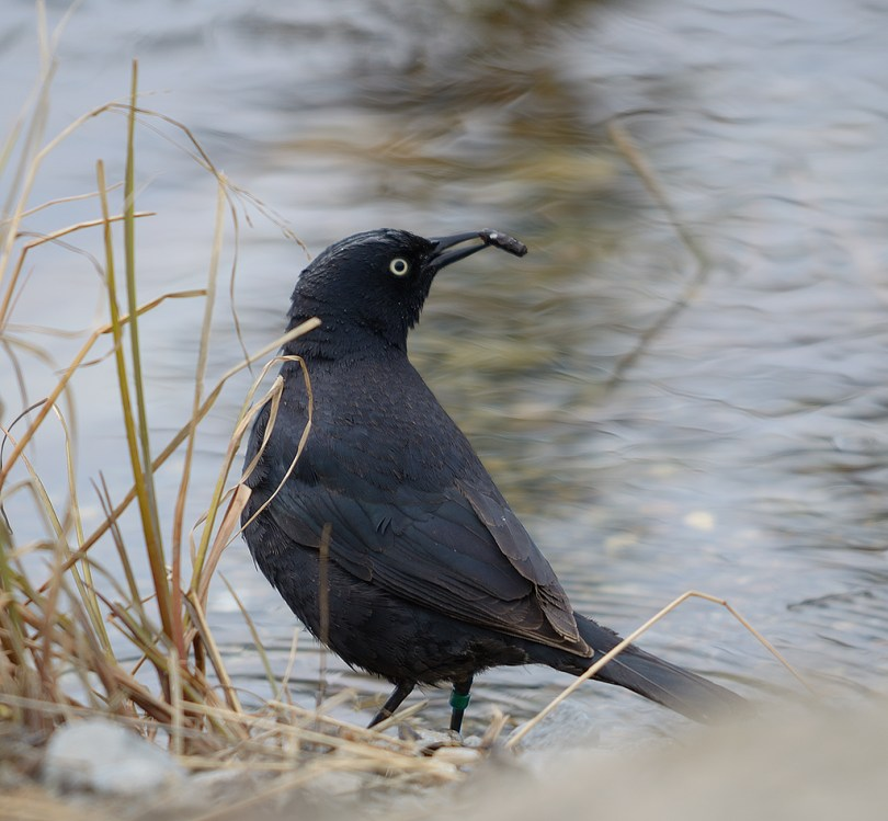 A male Rusty Blackbird hunts Caddis Larva in McIntyre Creek, Whitehorse. Photo by Keith Williams