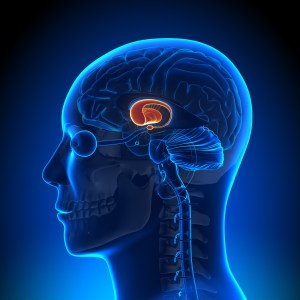 Brain Diagrams Basil Ganglia