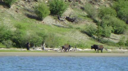 bisons du lac Aishihik