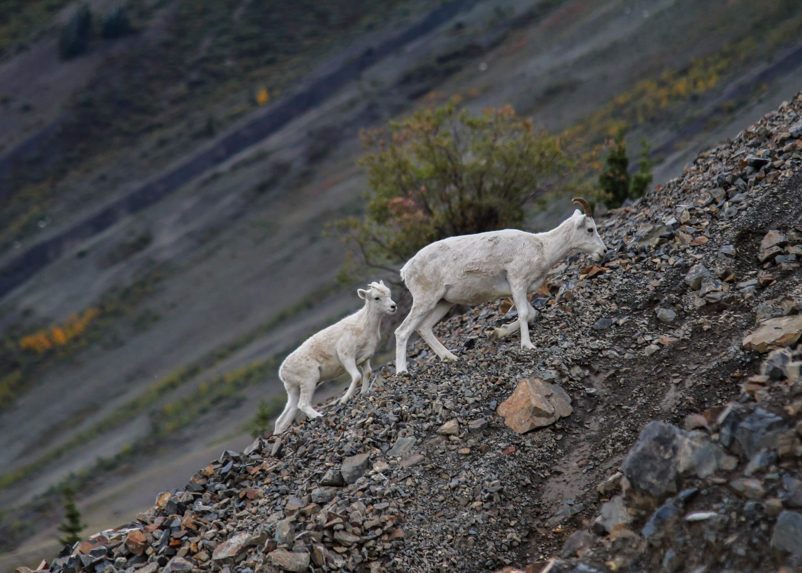 White ewe climbs the shale rock up Sheep Mountain, Yukon while her young lamb follows closely from behind