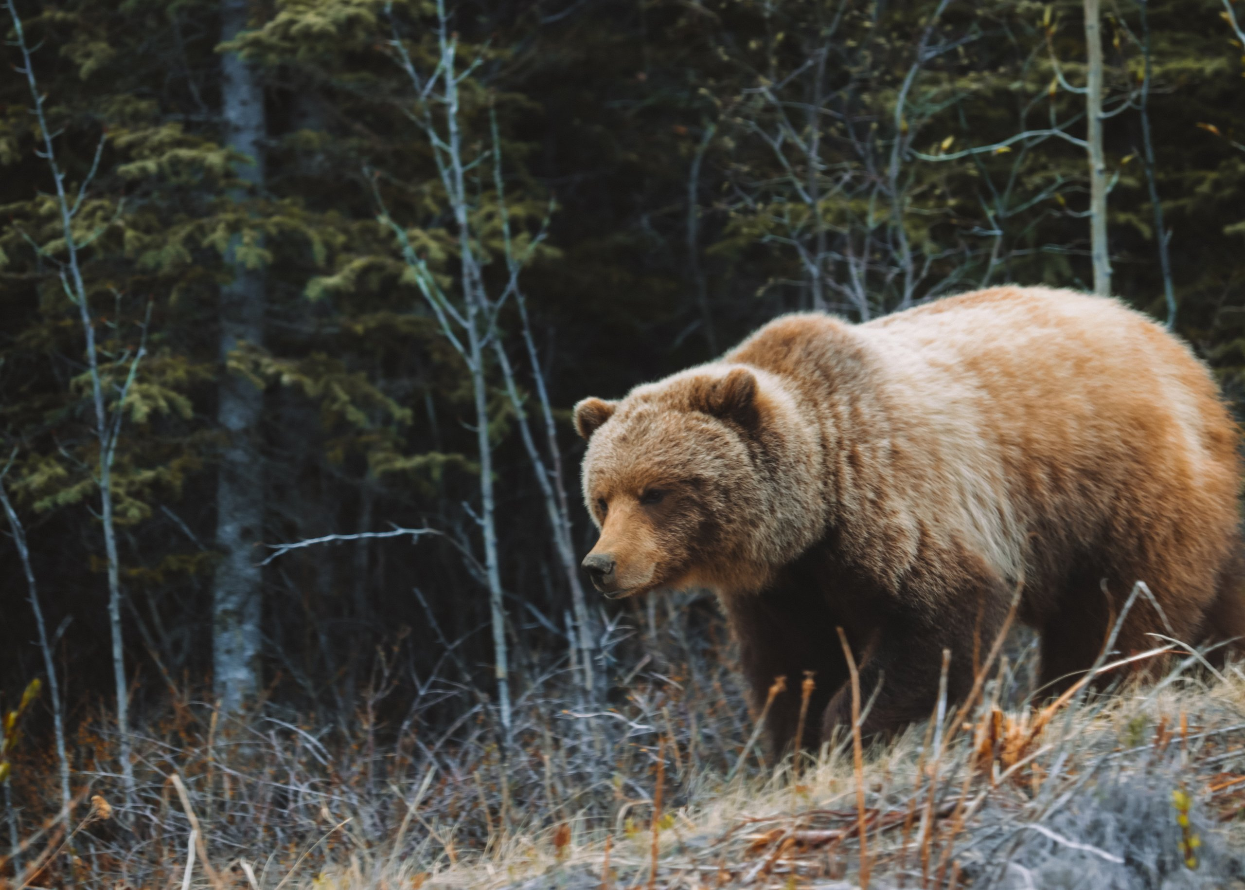 A blonde grizzly bear wanders down a hill roadside along the Alaska Highway in Kluane