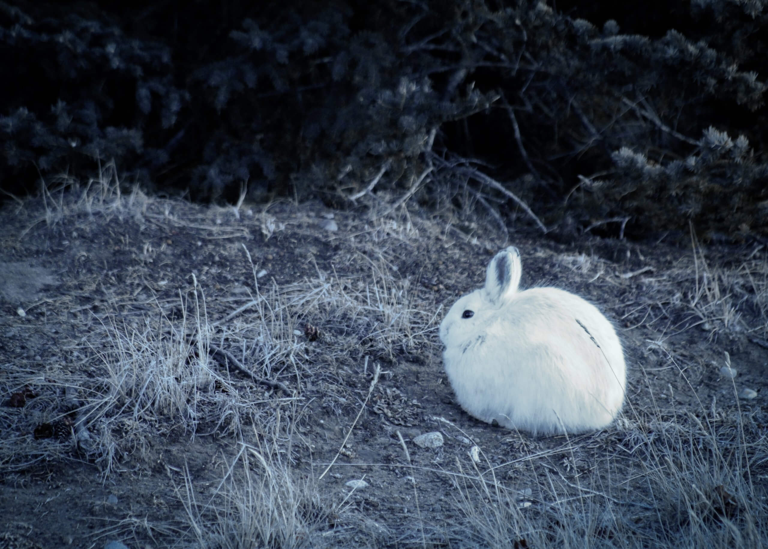 White snowshoe hare rabbit sits on a hill beneath a spruce tree