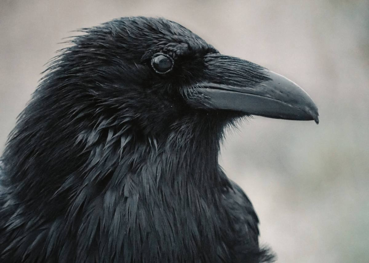 A black raven sits and stares with an intense gaze
