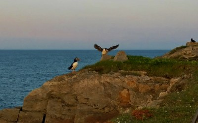 Adorable Puffins in Elliston Newfoundland