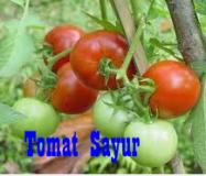 tomat-sayur