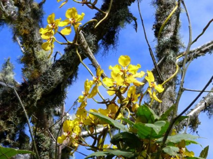 cyrtochilum-macranthum-ii