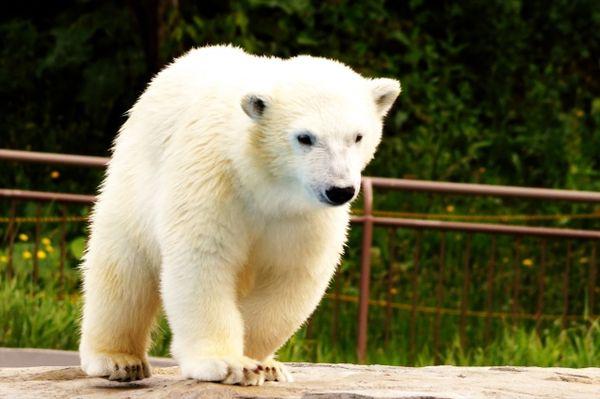 白熊の子供