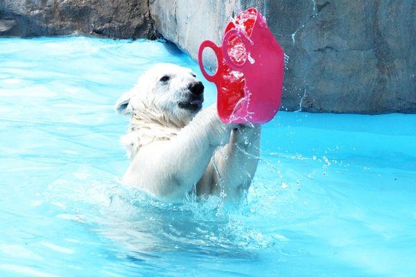 白熊と遊ぶ