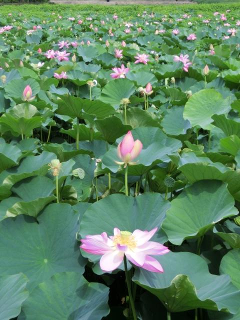 池一面の蓮の花