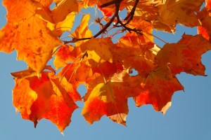 maple-leaves-228167_640