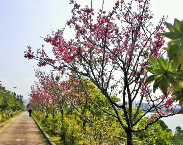 沖縄桜祭り2017:那覇・南部情報!八重瀬町がやっけー?