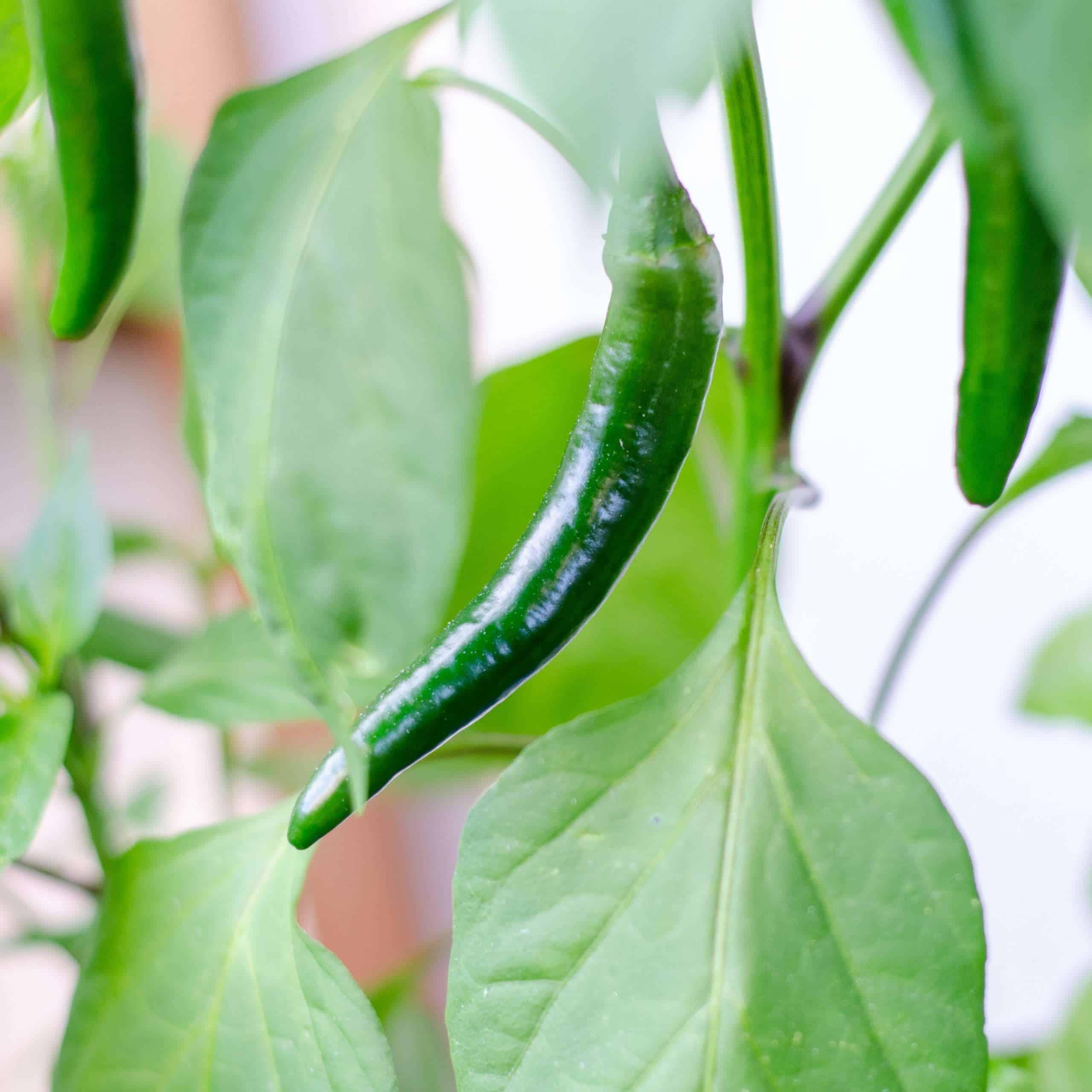 Locally Grown Green Chili on the bush