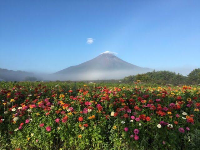 富士山 花