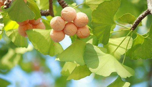 秋の珍味・銀杏を拾う際の注意点!大量に拾った際の保存方法も解説!