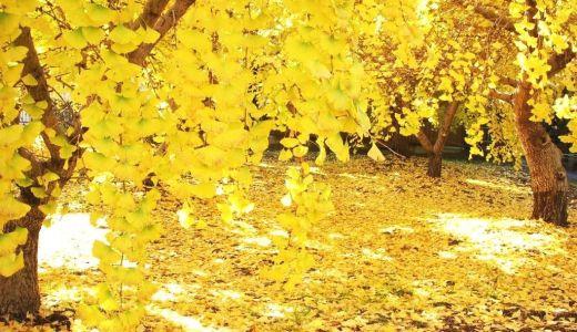 黄葉の意味と読み方は?黄葉が起こる理由は光合成が影響している?