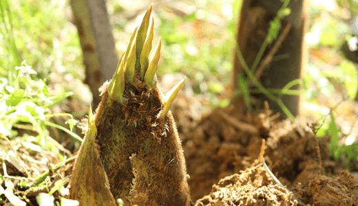 たけのこ探しのコツは?竹の特性を理解して飛躍的に簡単になる裏技!