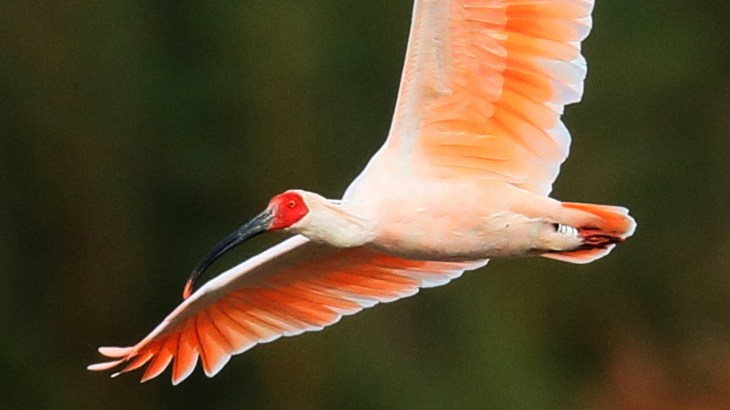 日本を代表する鳥・トキが中国から贈与!繁殖する可能性は?