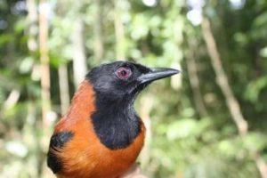 現実にいる有毒鳥ピトフーイとは?毒の威力と知られざる脅威の生態系