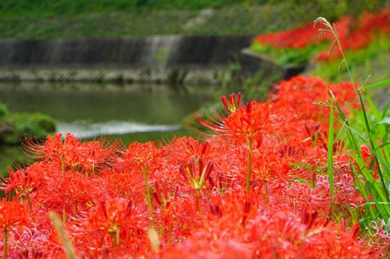 彼岸花が咲く時期は年に2回?花言葉と毒性や家庭での育て方は?